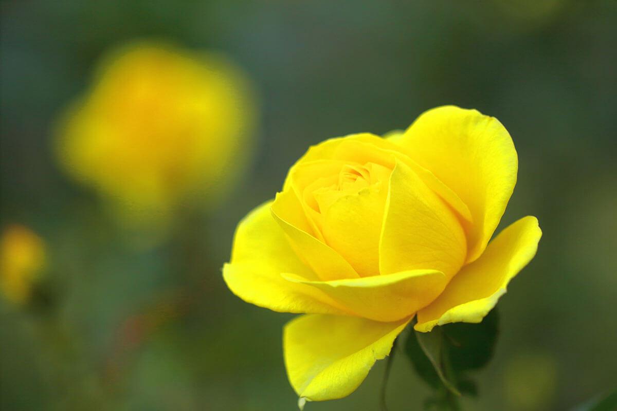 【父の日ギフト】バラ(黄色)