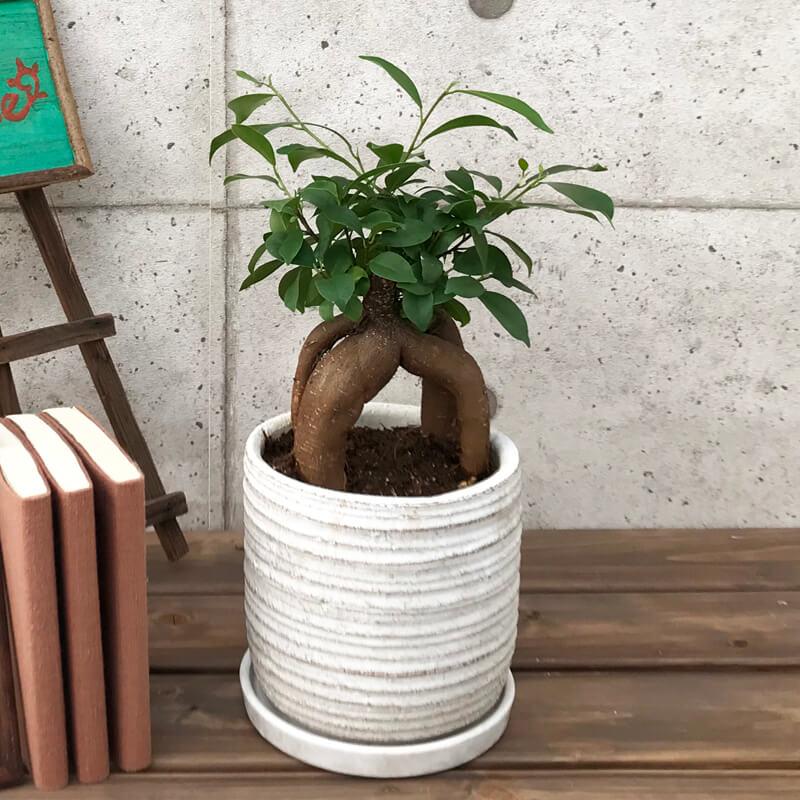 観葉植物(ガジュマル)